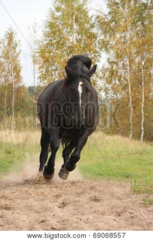 Powerful Galloping Percheron In Autumn