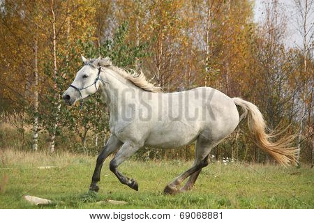 White Horse Galloping Free In Autumn