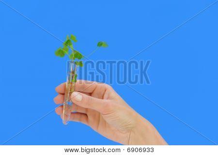 Hand holding tube with fresh sorel (oxalis)
