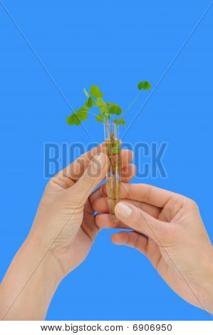 Hands holding tube with fresh sorel (oxalis)