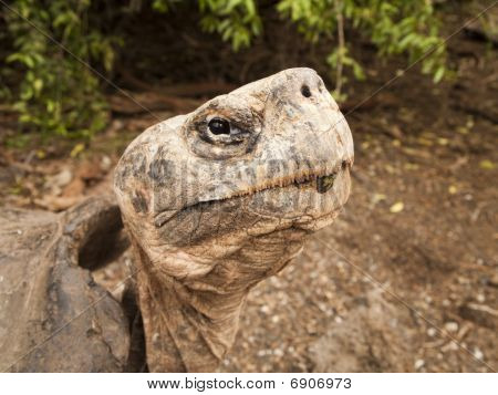 Galapagos Tortoise On Isabel Island