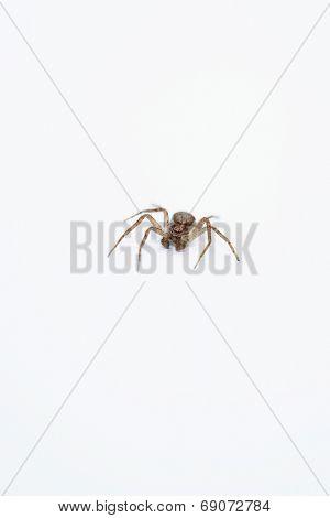 Lone Spider