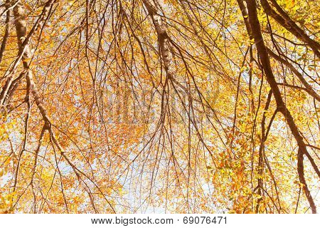 underneath view of colourful autumn trees