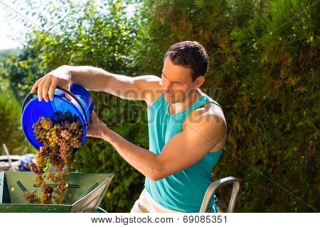 Man working with grape harvesting machine with many grapes and bucket