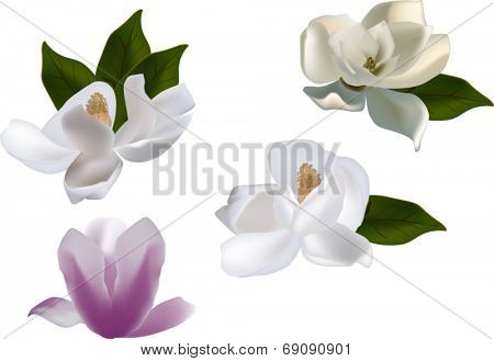illustration with set of magnolia flowers isolated on white background