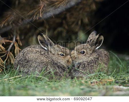 Rabbits Nuzzling