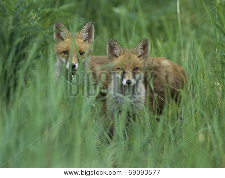 Two Foxes Standing in Tall Grass