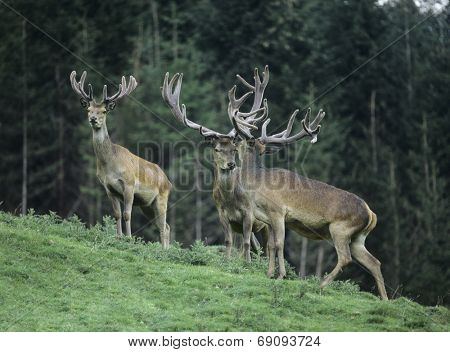 Three Buck Deer