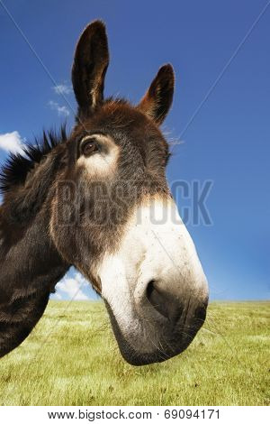 Closeup of a donkey in field against blue sky