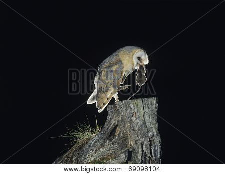 Barn Owl with Rat