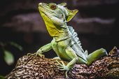 stock photo of monitor lizard  - chameleon - JPG