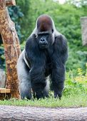 image of gorilla  - male silver big gorilla standing on the grass - JPG