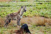 pic of hyenas  - Curious Hyena on Liuwa Plains - JPG