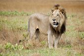 stock photo of male-domination  - Male Lion in the Wild - JPG