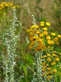 pic of tansy  - Photo tansy flowers in a field on a background of green grass - JPG