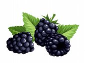 foto of blackberries  - Vector illustration of three blackberries and green leaves isolated on a white background - JPG