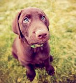 foto of chocolate lab  - a cute chocolate lab puppy sitting in the grass - JPG