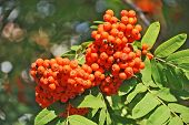 picture of rowan berry  - Rowan berries Mountain ash  - JPG