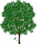 picture of ash-tree  - detached tree ash with leaves on a white background - JPG