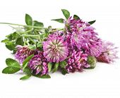 picture of clover  - Closeup of red clover flower  - JPG