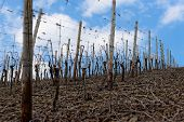 image of moselle  - Riesling vineyards on Moselle river in early spring - JPG
