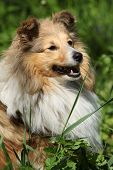 image of sheltie  - Amazing sheltie smiling in the garden in summer - JPG