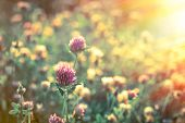 foto of red clover  - Flowering beautiful red clover in meadow in sunset - JPG