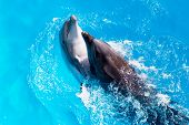 image of oceanography  - Dolphins swim in the blue water of the pool closeup - JPG