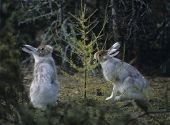 picture of nibbling  - Two Hares Nibbling on Small Tree - JPG