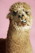 stock photo of alpaca  - Closeup of an Alpaca against pink background - JPG
