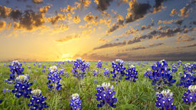 picture of bluebonnets  - Bluebonnets covering a rural Texas field at sunrise - JPG