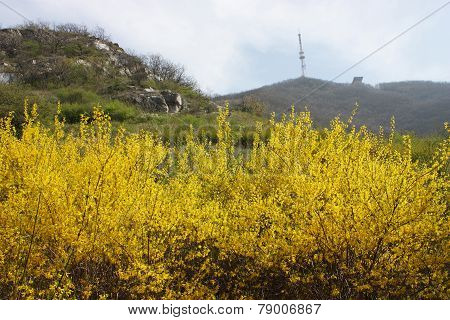 Yellow Flowers On Mountain Mashuk.