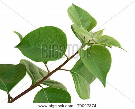 Bougainvillea Glabra Leaf