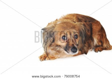 Brown Dog