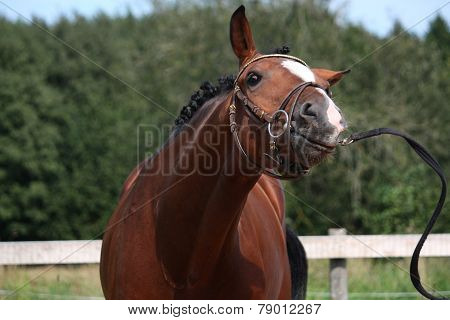 Bay Horse With Bridle Funny Portrait In Summer