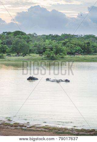 Swimming Buffaloes