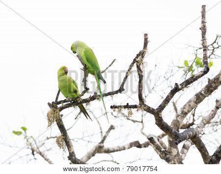 Two Rose Ringed Parakeet