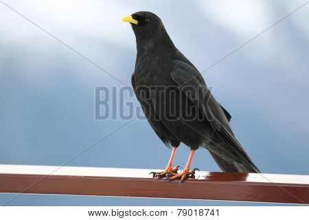 Black Bird With A Yellow Beak