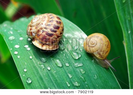 Family Of Snail