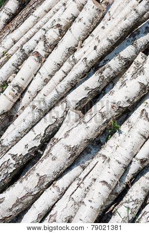 Fresh Cutted Birch Logs.