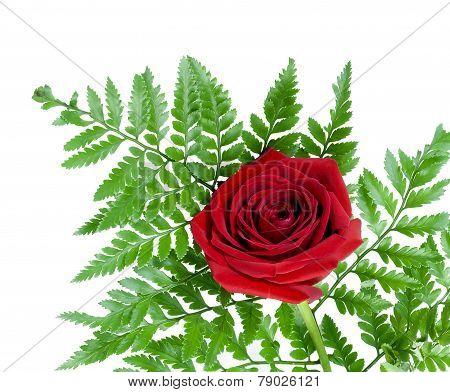 Red single rose on a fern leaf