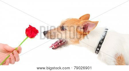 Funny little dog Jack Russell terrier with red rose, isolated on white
