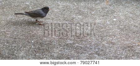 Catbird-Dumetella on top left