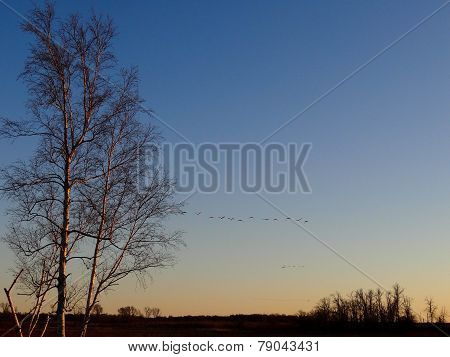 Sandhill Cranes Coming Home At Night Past Birch Trees