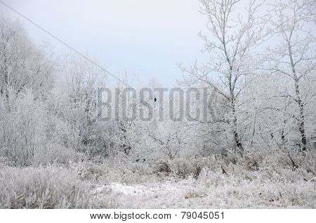 White Hoarfrost And Black Raven