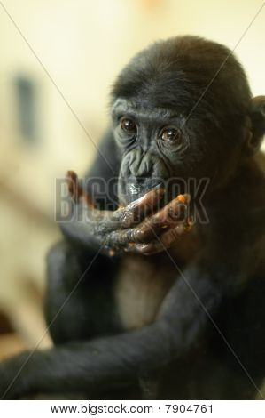 Cute Baby Bonobo Monkey