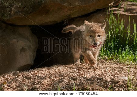Grey Wolf (canis Lupus) Pup Trots Out Of Den With Meat