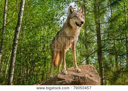 Grey Wolf (canis Lupus) On Rock Looks Up