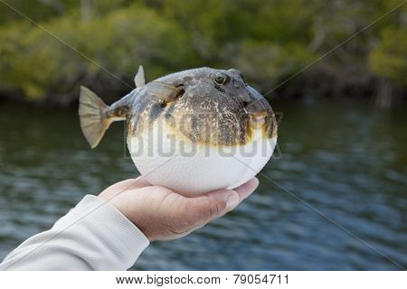 Inflated Smooth Puffer Fish In Florida Mangroves