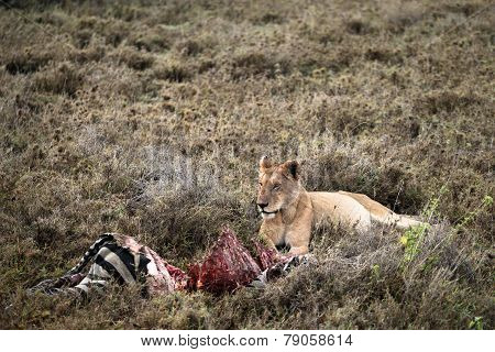 Lion Guarding Zebra Kill